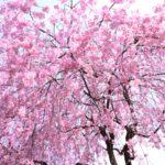 湯村温泉 三好屋 花見スポット